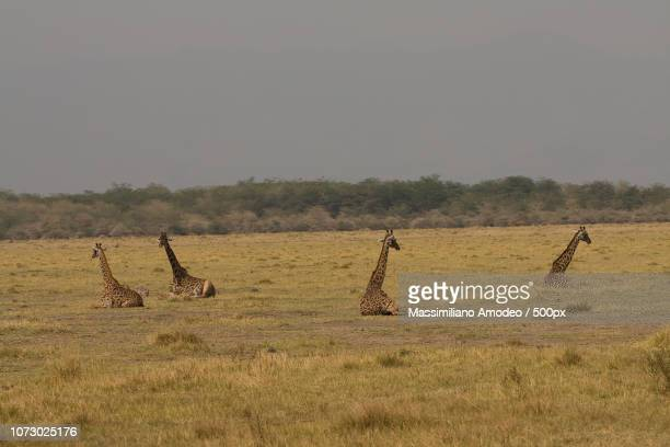 giraffes in relax - springbok deer stock photos and pictures