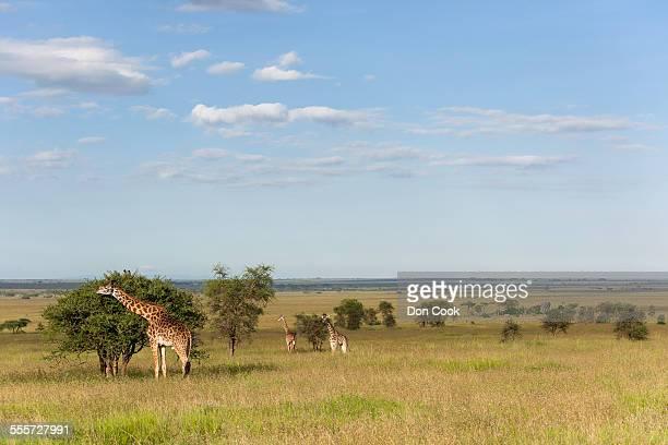 Giraffes In Serengeti National Park