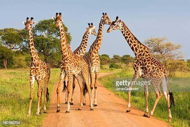 Giraffe nel Serengeti