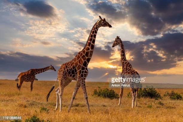 giraffes in the african savannah at sunset. masai mara, kenya - safari animals stock pictures, royalty-free photos & images
