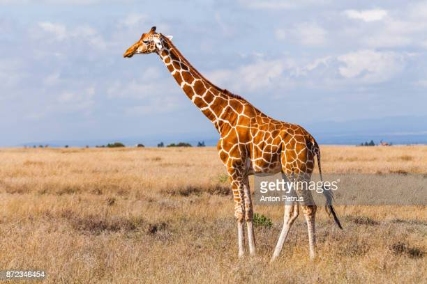 giraffes in the savannah, kenya - zoology stock pictures, royalty-free photos & images