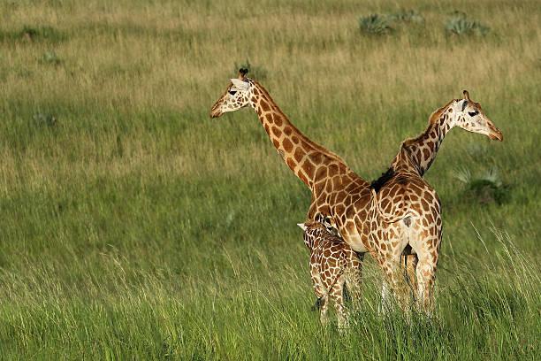 Giraffes in V