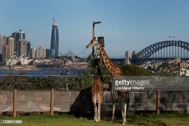 Giraffes look out across Sydney Harbour from Taronga Zoo on June 01 2020 in Sydney Australia Taronga Zoo has reopened to the public as COVID19...