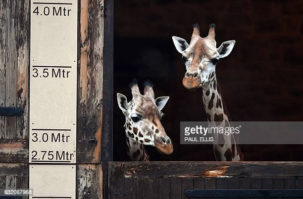 Giraffes look out from the Giraffe House at Chester Zoo in Chester northwest England on January 19 2017 for the first time / AFP / Paul ELLIS