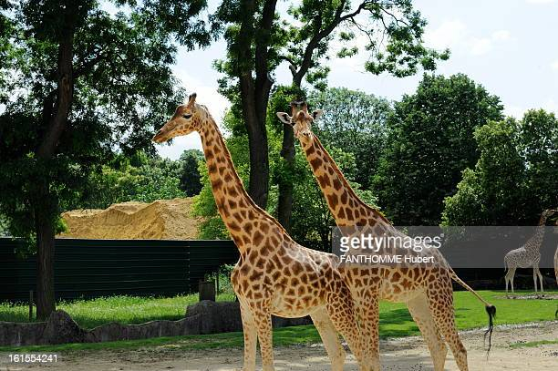Giraffes Of The Zoo Of Vincennes Under Reapir Paris France June 13 2012 For the renovation of the Zoological Park of Paris known as the 'Zoo de...