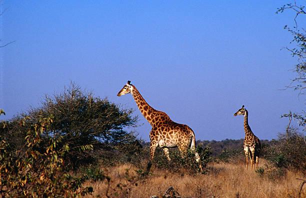 Giraffes ( Giraffa camelopardalis ) on the plain