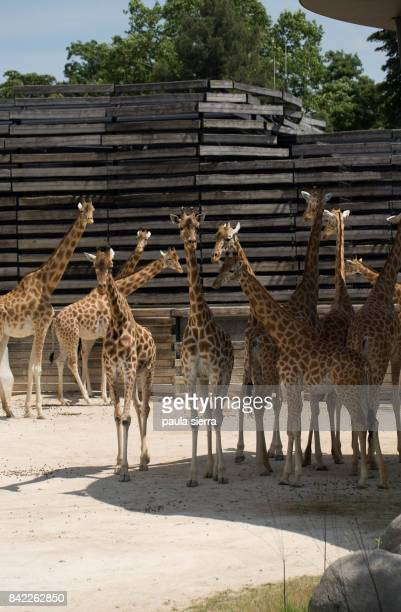 giraffes - paris zoological park stock pictures, royalty-free photos & images