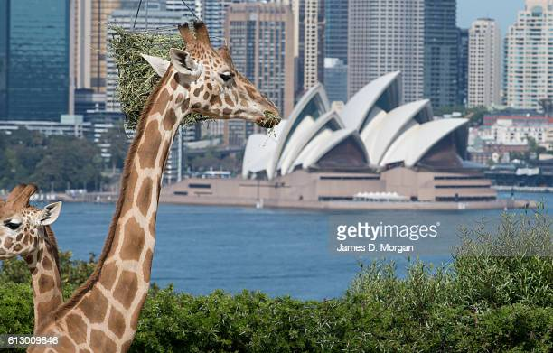 Giraffes pose for photos with the backdrop of the Sydney Opera House during birthday celebrations at Taronga Zoo on October 7 2016 in Sydney...