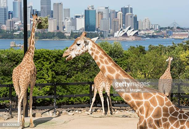 Giraffes pose for photos with the backdrop of the Sydney Opera House during birthday celebrations at Taronga Zoo on October 7, 2016 in Sydney,...
