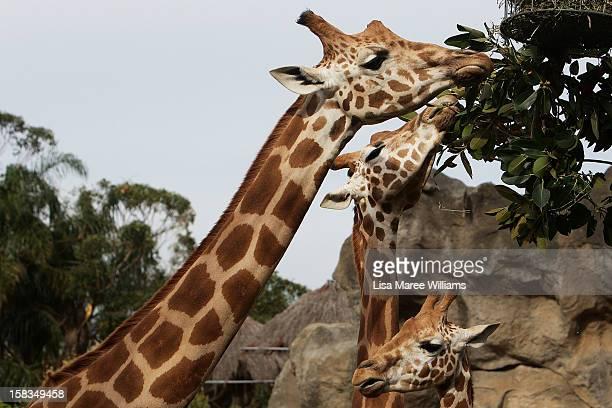 Giraffes receive a Christmas treat at Taronga Zoo on December 14 2012 in Sydney Australia Taronga Zoo celebrated Christmas early giving...