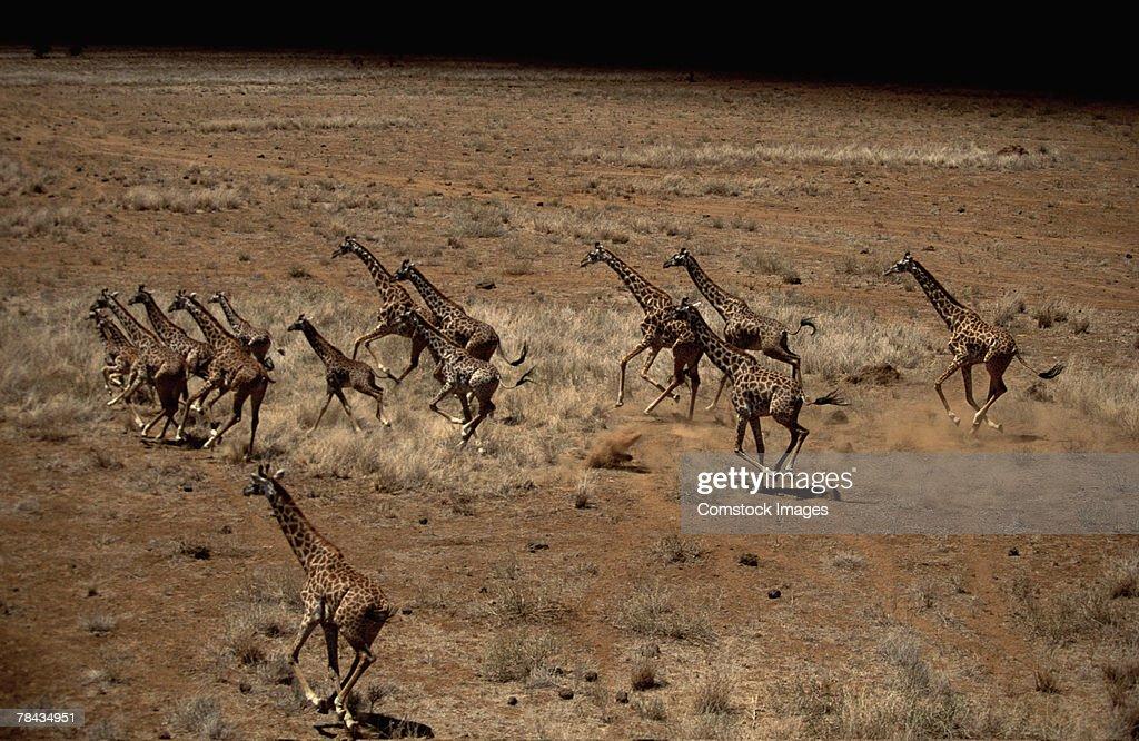 Giraffes running through grasslands , Kenya , Africa : Stockfoto