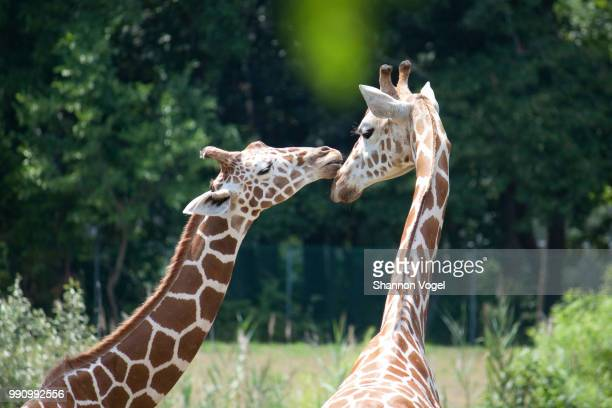 giraffes showing affection - zoo stock pictures, royalty-free photos & images