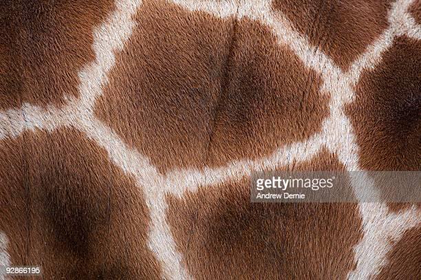 giraffes skin texture - andrew dernie stockfoto's en -beelden