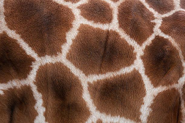 Giraffes Skin Texture Wall Art