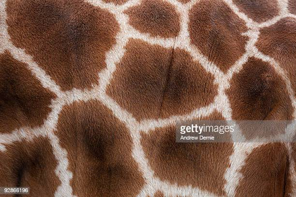 giraffes skin texture - andrew dernie stock pictures, royalty-free photos & images