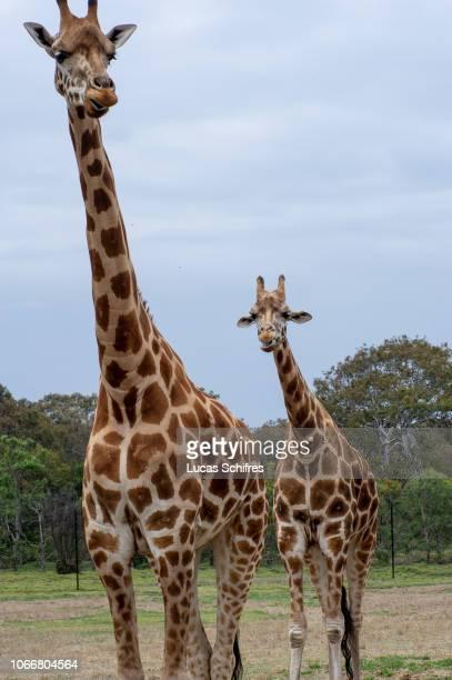 Giraffes stand in Werribee Open Range Zoo on December 29, 2017 near Melbourne, Victoria, Australia.