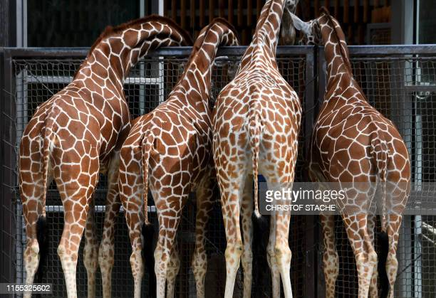 Giraffes stand together in the enclosure of the zoo Hellabrunn in Munich southern Germany on July 12 2019 Organisers of this year's Gay Pride week in...