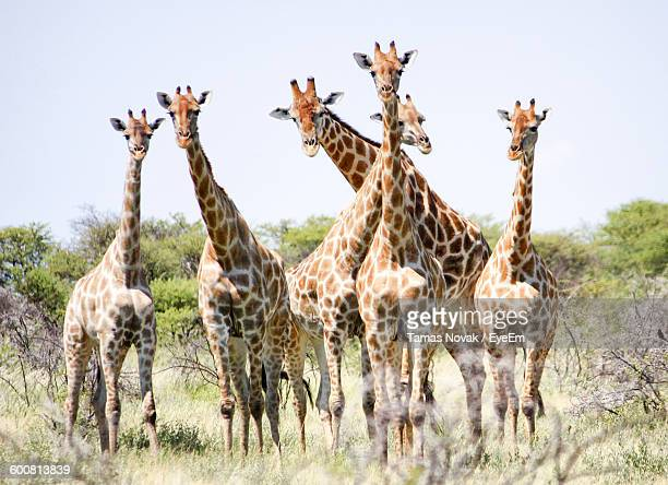 Giraffes Standing On Grassy Field Against Clear Sky