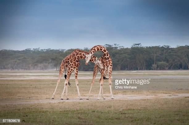 giraffes stock image - nakuru stock photos and pictures