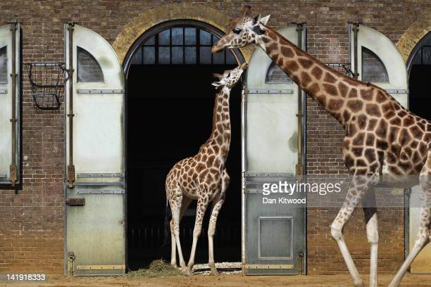 Giraffes stroll around their paddock in the sunshine at London Zoo on March 26 2012 in London England The Met Office expect today to be the warmest...