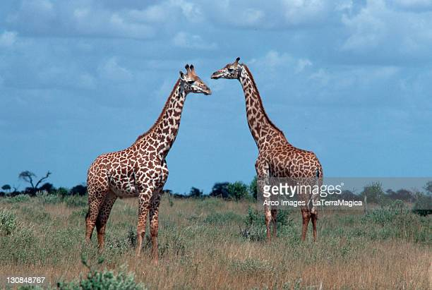 Giraffes, Tsavo national park, Kenya / (Giraffa camelopardalis)