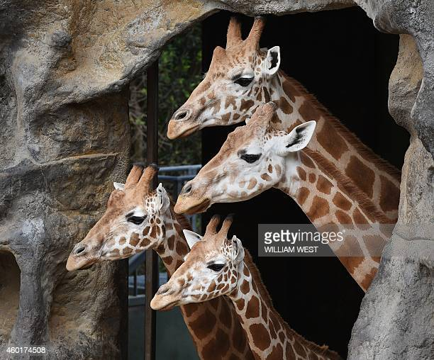 Giraffes wait patiently for their Christmasthemed giftwrapped food treats and other tasty decorations in their exhibit at Taronga Zoo in Sydney on...