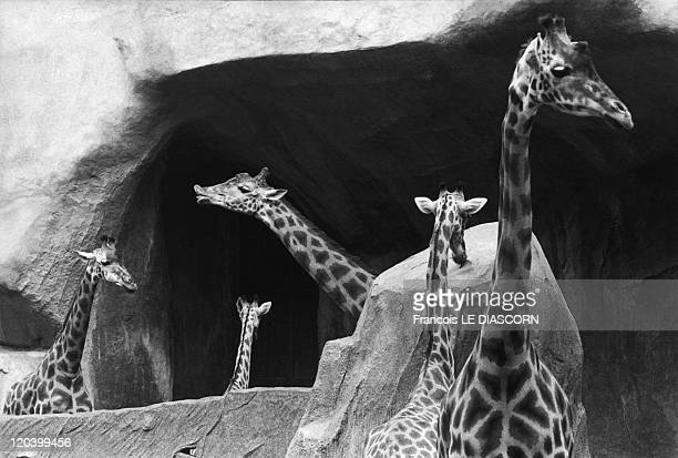 Giraffes zoo in Vincennes France Composition with necks of giraffes Vincennes zoo Paris Photo belonging to a series called 'Magic Animals'