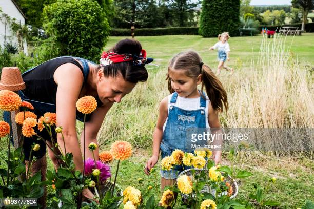 girl and woman standing in a garden, picking pink and yellow dahlias. - horticulture stock pictures, royalty-free photos & images