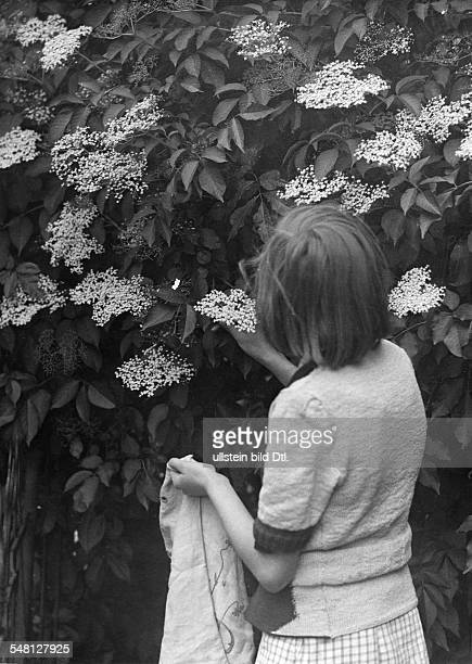 A girl at a elderberry picking up the fruits ca 1949 Photographer Walter Gircke Vintage property of ullstein bild