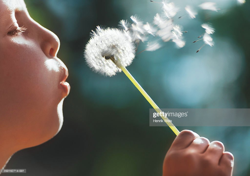 Girl (8-10) blowing seeds off dandelion, close up, side view : Stock Photo