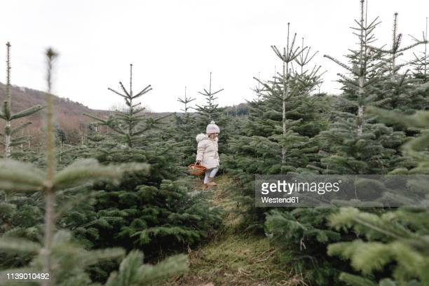 girl carrying basket on a christmas tree plantation - christmas tree farm stock pictures, royalty-free photos & images