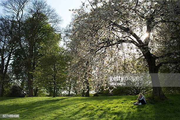Girl contemplates under a blossom covered tree Hampstead Heath is a large ancient London park covering 320 hectares This grassy public space is one...