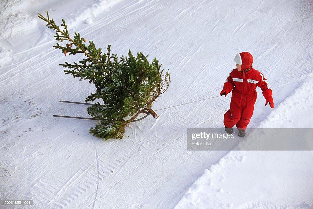Girl (2-4) dragging pine tree (Pinus sp.) across snow : Stock Photo