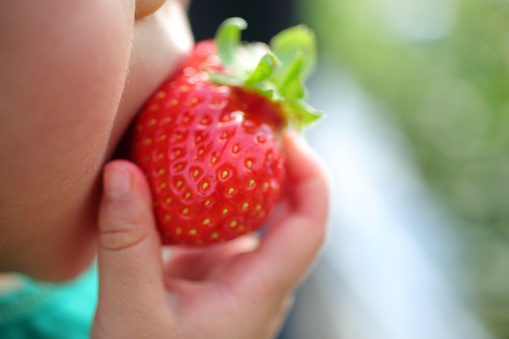 Girl eating strawberry of strawberry picking - gettyimageskorea
