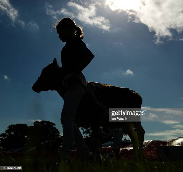 A girl enters the show ring with her calf during 152nd the Ryedale Country Show on July 31 2018 in Kirbymoorside England Held in Welburn Park near...