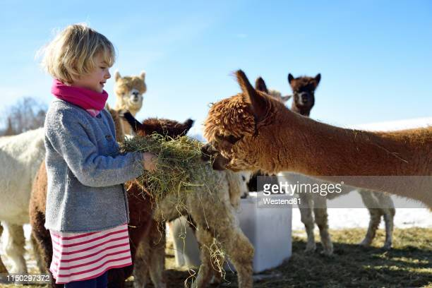 girl feeding alpacas with hay on a field in winter - llama stock pictures, royalty-free photos & images