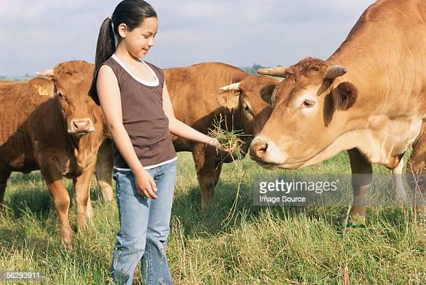 girl feeding cow - erbivoro foto e immagini stock