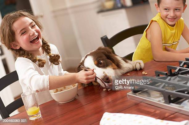 girl (6-8) feeding dog breakfast cereal at kitchen table, laughing - dog eats out girl stock pictures, royalty-free photos & images