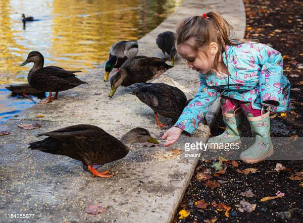 girl feeding ducks - duck bird stock photos and pictures
