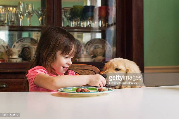 girl feeding golden retriever puppy dog at table - dog eats out girl stock pictures, royalty-free photos & images