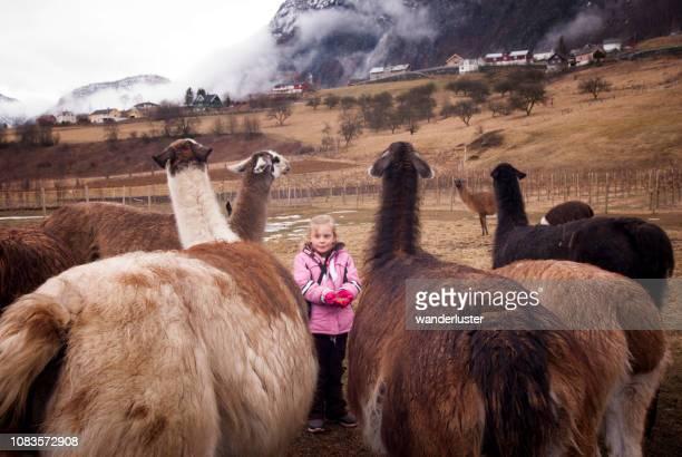 flicka utfodring lamor i norge - art bildbanksfoton och bilder
