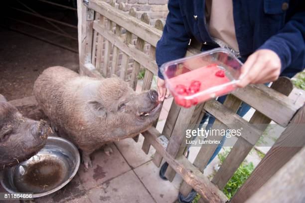 Girl feeding raspberries to the pigs