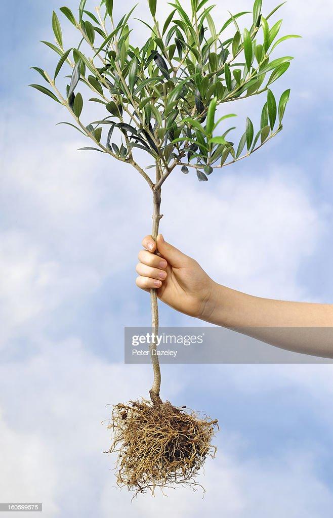 Girl golding olive tree against sky : Stock Photo