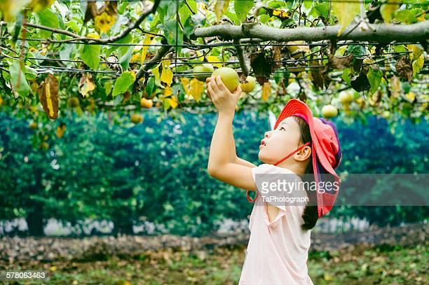 Girl harvesting organic apples
