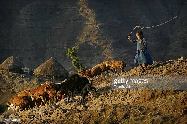 Girl herds goats with whip in Simien Mountains