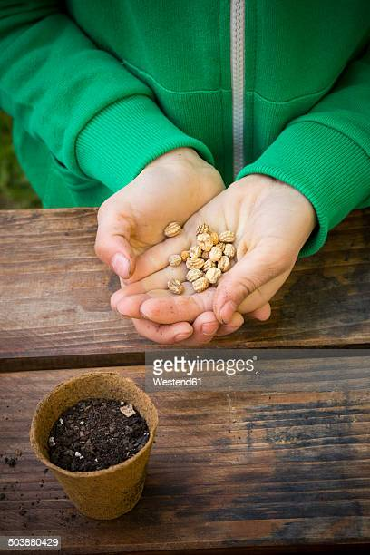 girl holding seeds of nasturtium, tropaeolum majus - nasturtium stock pictures, royalty-free photos & images