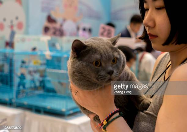 Girl hugs her British short hair cat at a competition. A purebred cat awarding competition is held in a shopping mall. More and more Chinese young...