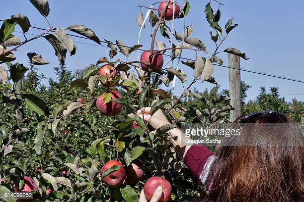 Girl in an orchard reaches for an apple growing on the fruit tree