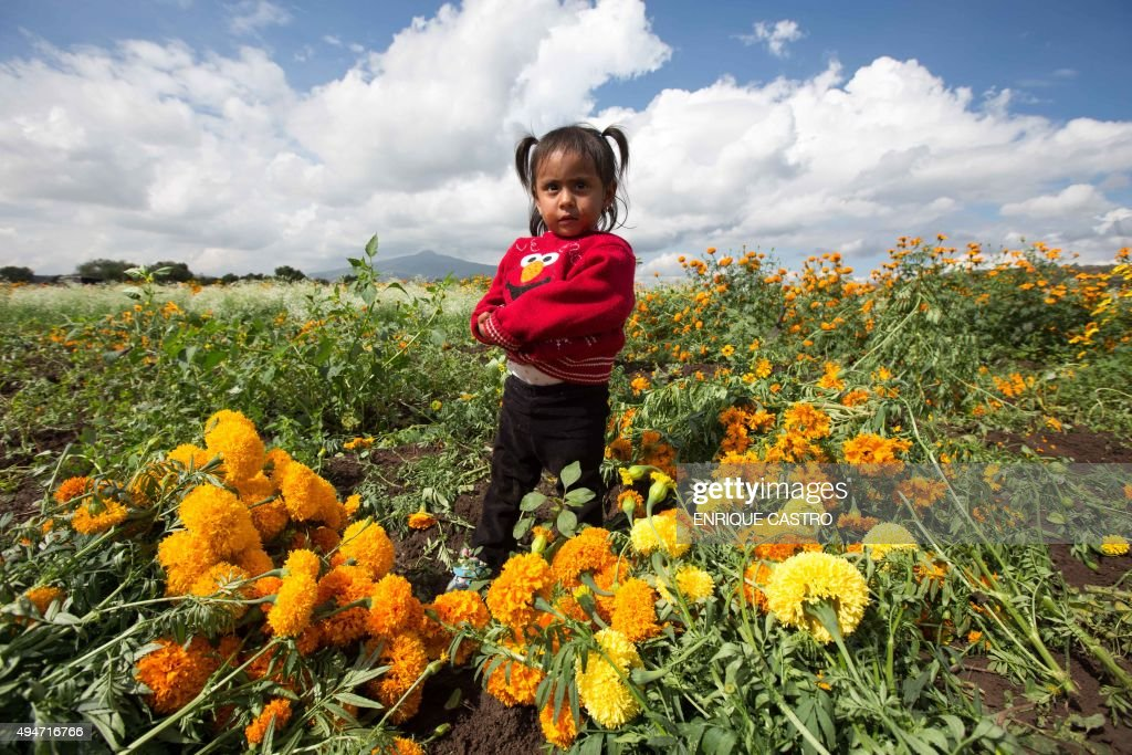 A girl is seen during the harvest of marigold flowers in Tarimbaro, Michoacan state, Mexico on October 28, 2015. Marigold flowers are used in Mexico to celebrate the Day of the Dead.