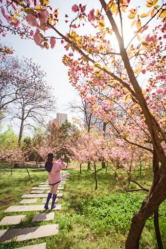A girl is taking the photo of sakura - gettyimageskorea